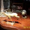 Impalla buck running from lion Lion and impalla $$2,250.00.  The lion or the impalla may be ordered seperately.